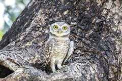 Close up of Spotted owlet(Athene brama) looking at in nature royalty free stock image