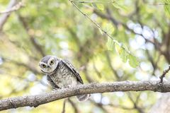 Close up of Spotted owlet(Athene brama) looking at in nature royalty free stock images
