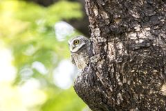 Close up of Spotted owlet(Athene brama) looking at in nature stock photo