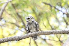 Close up of Spotted owlet(Athene brama) looking at in nature stock images