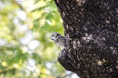 Close up of Spotted owlet(Athene brama) looking at in nature royalty free stock photos