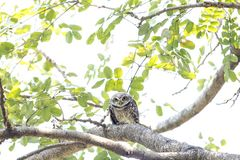 Spotted owlet(Athene brama) looking at in nature stock image