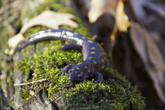 Spotted salamander on a log Royalty Free Stock Photo