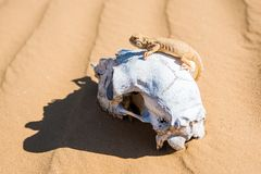 Spotted toad-headed Agama sits on sheep`s skull. Close up spotted toad-headed Agama or Phrynocephalus maculatus sitting on skull of sheep in natural habitat stock images