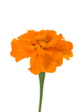Close-up spreading marigold Stock Images