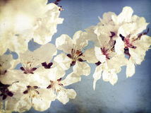 Close up on spring blossom with soft focus - old photo Stock Photos
