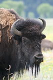 Close up of spring buffalo, grand tetons wyoming Royalty Free Stock Photography