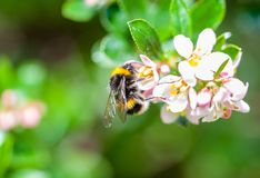 A spring bumblebee collecting pollen from blossoming apple tree. A close-up of a spring bumblebee collecting pollen from blossoming apple tree royalty free stock image