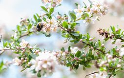 A spring bumblebee collecting pollen from blossoming apple tree. A close-up of a spring bumblebee collecting pollen from blossoming apple tree stock photography