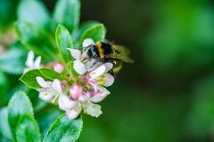 A spring bumblebee collecting pollen from blossoming apple tree. A close-up of a spring bumblebee collecting pollen from blossoming apple tree stock images