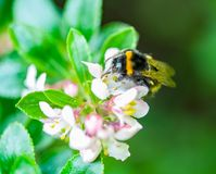 A spring bumblebee collecting pollen from blossoming apple tree. A close-up of a spring bumblebee collecting pollen from blossoming apple tree stock photo