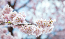 Close up Spring Cherry blossoms ,Sakura Background Stock Photo
