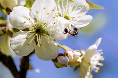 Close up of a spring cherry blossoms, white  flowers on a blue sky background Royalty Free Stock Image
