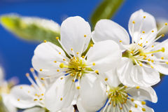 Close up of a spring cherry blossoms, white  flowers on a blue sky background Stock Images