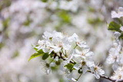 Close up of a spring cherry blossoms, white  flowers Royalty Free Stock Photos