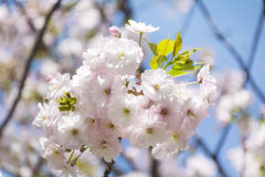 Close up of a spring cherry blossoms, white  flowers Stock Images