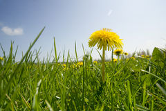 Close up of spring dandelion field Stock Image