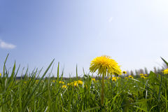 Close up of spring dandelion in field Stock Images