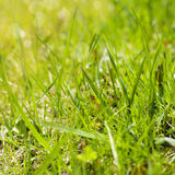 Close up of Spring Field Grass. Royalty Free Stock Photo