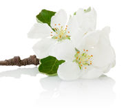 Close-up spring flowers of fruit tree isolated on white backgrou Stock Photos