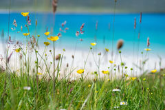 Close up of spring flowers with white sandy beach, turquoise water and an island in the background, Luskentyre, Isle of Harris, He. Brides, Scotland Royalty Free Stock Photography