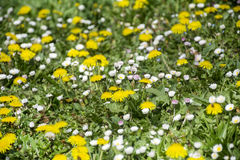 Close up of  spring garden with yellow dandelions and white daisies Stock Image