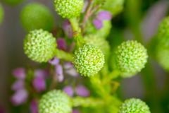 Spring Green Billy balls Craspedia flowers royalty free stock photography