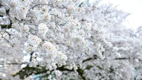 Close Up Of The Spring White Cherry Blossom That Filled The Garden At University Of Washington In Seattle. Fills the air with romance and joy. Photo taken at Stock Photography