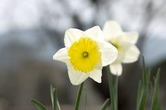 Daffodils. Garden, beauty. Royalty Free Stock Photos