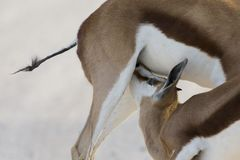 Close-up of a springbok foal drinking from its mother Stock Photo
