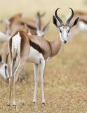 Close-up of a springbok standing in a herd looking back Royalty Free Stock Photography