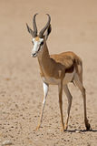 Close-up of springbok walking in desert. Antidorcas marsupialis royalty free stock photo