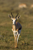 Close-up of springbok walking in grass-field. Antidorcas marsupialis royalty free stock photography