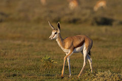 Close-up of Springbok walking in grass-field Stock Photography