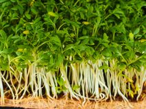 Sprouted watercress. A close up of sprouted watercress plants Royalty Free Stock Image
