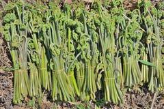 Edible fern Pteridium aquilinum 2 Stock Photos
