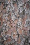 Close up of Spruce Bark Stock Image