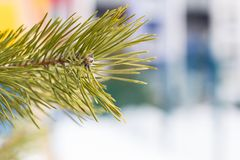 Close-up of a spruce branch with a cone Royalty Free Stock Photos