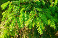 Close-up of a spruce branch. Royalty Free Stock Photo