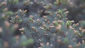 Slide focus on fir tree branches. Close up of spruce needles and small bumps sliding camera. Slide focus on fir tree branches stock video