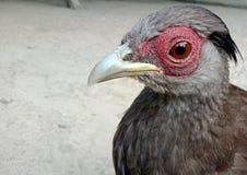 Close up of spurfowl