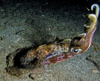 Close up of squid during night dive in the Caribbeans sea royalty free stock image