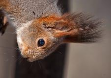 Close-up of squirrel Stock Image