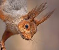 Close up of squirrel Stock Image