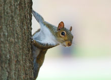 Close Up: Squirrel. This is a close up of a very cute squirrel climbing on a tree Royalty Free Stock Image