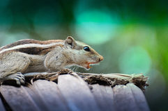 Close-up of a squirrel Royalty Free Stock Image