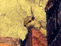 Close-up of Squirrel Royalty Free Stock Photos
