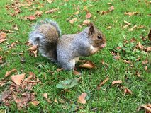 Close-up squirrel eating nuts Royalty Free Stock Images