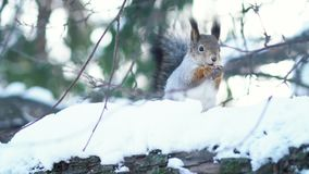 Close-up of squirrel eating nuts in the winter forest. Animals in natural habitats.