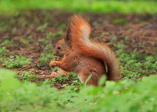 Close up of squirrel Stock Photo